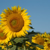 sunflowers-1404713